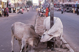 cows in india 3.jpg